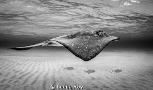 Stingray and entourage by Leena Roy