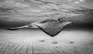 Stingray and entourage by Leena Roy