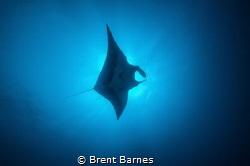 Soaring manta ray at San Benedicto Island in the Socorros... by Brent Barnes