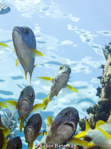 Flying Grunts - finning through the swim-thru I looked up... by Robin Bateman