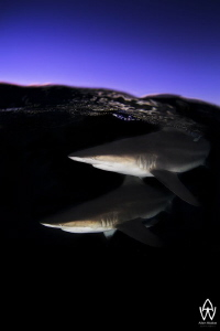 An portrait image of 2 Oceanic Blacktips close to the sur... by Allen Walker