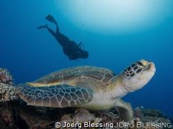 Resident green turtle at Six Senses Laamu Housereef by Joerg Blessing