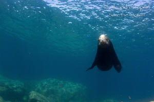 Sea Lion in the Blue, La Paz Mexico by Alejandro Topete