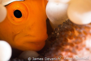 The Brood / False clown with eggs not cropped. by James Deverich