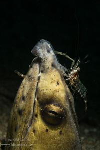 Black finned snake eel cleaned by Commensal shrimp,Anilao... by Richard Goluch