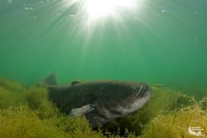 Wels catfish :-D by Daniel Strub