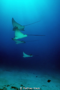 Mexico - Isla Mujeres - Eagle Rays by Mathias Weck