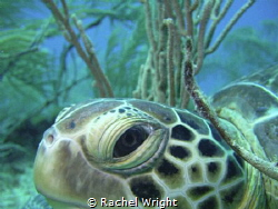 Great opportunity to get close to this turtle resting amo... by Rachel Wright