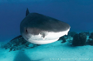 Incoming for a closer look!!!! Emma at Tiger Beach Bahamas by Steven Anderson