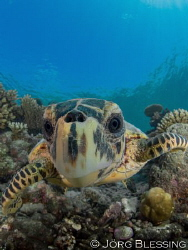 young hawksbill turtle checking out the dome by Joerg Blessing