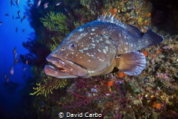 A Medes Island's big grouper by David Carbo