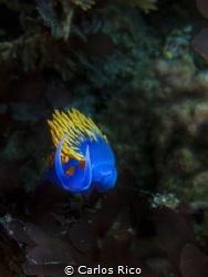 nudibranch by Carlos Rico