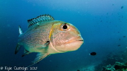 I had this snapper just swim up to me as if you wanted me... by Kyle Castelyn