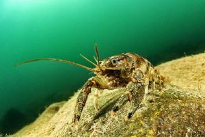Crayfish Orconectes limosus (Hérault river, France) by Mathieu Foulquié