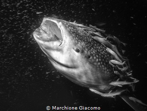 Whale shark and remores Nikopn D800E, 17-35mm Nikon by Marchione Giacomo