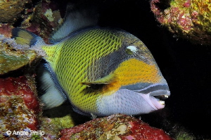 """What a Look"" - The Giant Triggerfish (Balistoides viride... by Andre Philip"