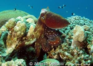 Octopus cyanea by Alberto Gallucci