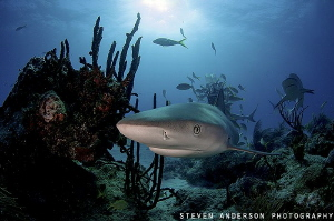 This Reef Shark is close and comfortable at Blue Pride Re... by Steven Anderson
