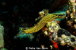 Hypselodoris Picta reaching out to cross over to a rock. by Petra Van Borm