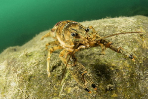 Crayfish Orconectes limosus by Mathieu Foulquié
