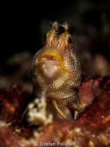 Allan, Allan, Allan, Allan ... ! Blenny - Parablennius sp... by Stefan Follows