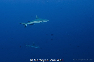 Two grey reef sharks cruising by by Marteyne Van Well