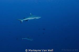 Two grey reef sharks cruising by by Marteyne Van Well