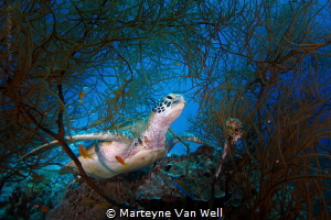 Meet Mrs. Green, the resident Green Turtle at Tingadhoo Faru by Marteyne Van Well