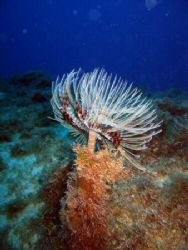 Fanworm feeding on Popeye's barge off Malta, not much of ... by Dawn Watson