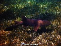 Nurse Shark, Palancar Reef, Cozumel by Alison Ranheim