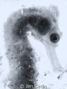 'X-ray' - backlit seahorse in b/w by Jim Catlin