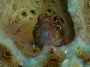 Nikon D800 125 F25 105mm  Starksia hassi  Ringed Blenny by John Roach