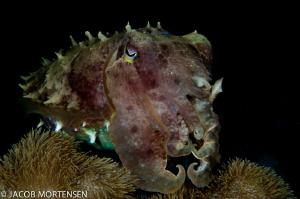 Broadclub Cuttlefish - Wakatobi Resort Nikon D90 in Aqua... by Jacob Mortensen