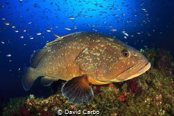 A Medes Island's big grouper with a lot of little fishes by David Carbo