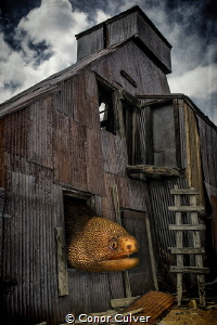 """""""Goldentail Gold Mill"""" part of my Underwater Surrealism s... by Conor Culver"""
