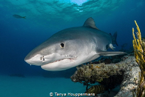 Buzzing the Reef A tiger shark skims the top of a reef n... by Tanya Houppermans