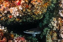 ~ Cross Roads ~ Spotted Gulley Shark at cave entrance. O... by Geo Cloete
