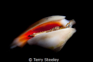 'Do not disturb' Vomer Conch, Euprotomus Vomer | Dumague... by Terry Steeley