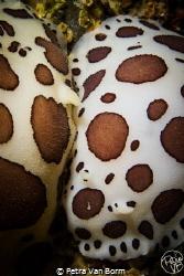 2 Peltodoris Atromaculata nudibranchs having an intimate ... by Petra Van Borm