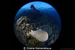 Marbled electric ray by Oxana Kamenskaya