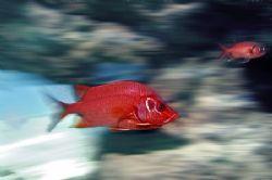 Nik D2x-squirrelfish by Manfred Bail