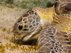 Green turtle munching (no strobe) by Steve Laycock