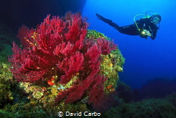 Medes Islands gorgonians with diver by David Carbo
