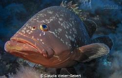 close encounter... curious big grouper comming near by Claudia Weber-Gebert