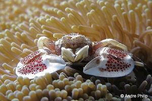 Anemone Porcelain crab (Neopetrolisthes maculatus) Nabuc... by Andre Philip
