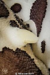 close up of 2 Peltodoris Atromaculata nudibranchs having ... by Petra Van Borm