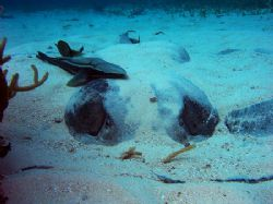 This is a large Caribbean stingray and her mate (the remo... by Martin Spragg