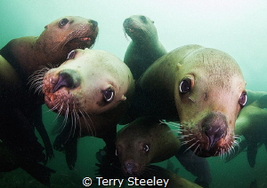 'Mobbed by inquisitive steller sea-lions'