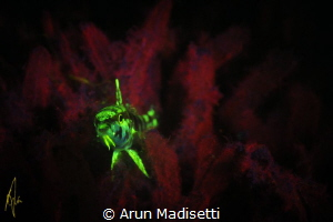 Jvenile goatfish on a UV nightdive class. by Arun Madisetti