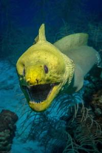Curious moray eel .... Roatan by Jim Garber